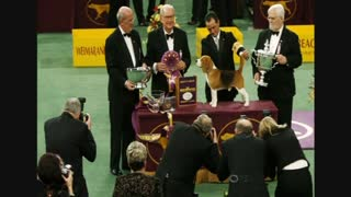Beagle named Miss P is best in show - Video
