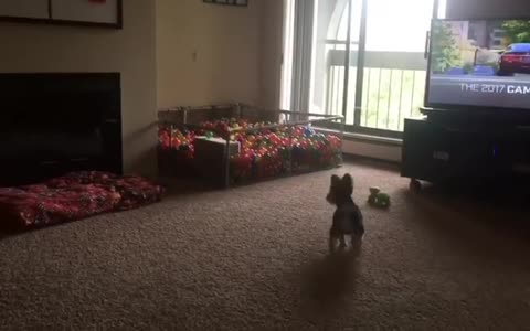 Puppy dives into homemade ball pit