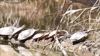 How many Turtles Can Fit On A Log  - Video