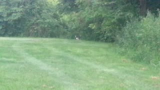 Dog vs. Deer - Video