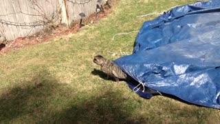 Cat Goes Exploring Underneath A Big Blue Tarp - Video