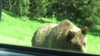 Curious Grizzly Bear Comes To Greet Park Visitors - Video