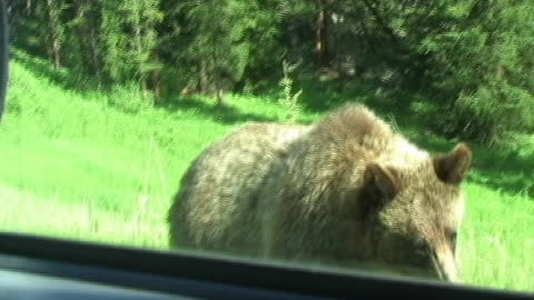 Yellowstone Grizzly Bear Attacks Car