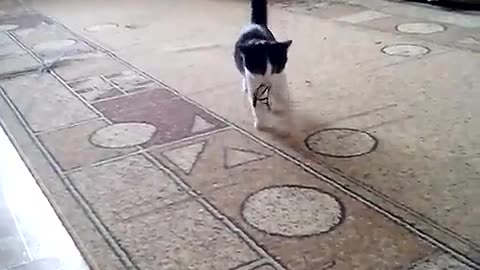 cat trained like a dog