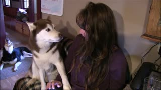 Siberian Husky Wants Attention NOW!!!  - Video