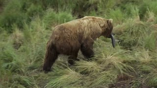 Close Encounters of the Bear Kind - Video