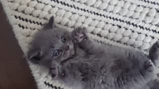 Surprised kitten adorably sticks out his paws - Video