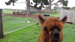 Orphaned alpaca runs across field to greet owner