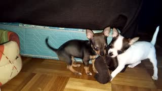 chihuahua dog puppy attacks close view