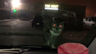 Owl Looks For Attention.