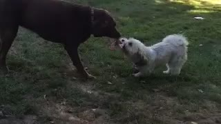 A Chocolate Lab and Havenese Play Tug-of-War - Video