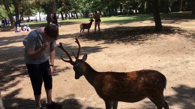 Polite deer bows head to receive treats - Video