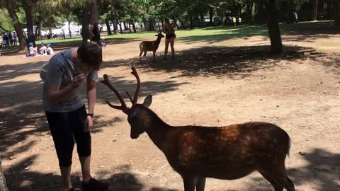 Polite Deer Bows Head To Receive Treats