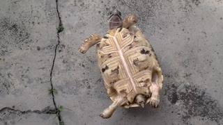 Leopard tortoise Jackpot flips back  - Video