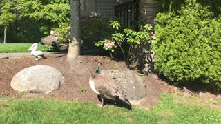 Wild Peacocks roam neighbourhood in British Columbia