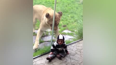 Curious Lion Wants To Play With Baby