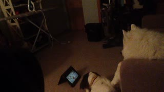 Dogs Love Watching 'Airbud' Movie