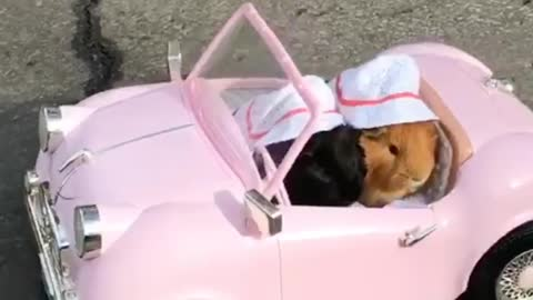 Guinea pig cruise is Oldies car