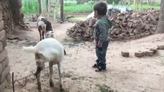 Cute Baby Playing with Goats - Pashton Baby  - Video