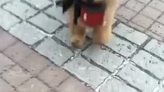 Chow Chow decide llevarse a sí mismo a pasear - Video