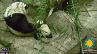 Panda cub Bei Bei takes first wobbly steps