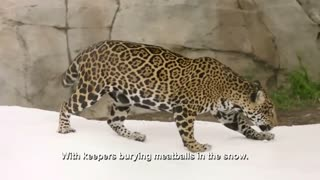 Jaguars enjoy snow day at zoo - Video
