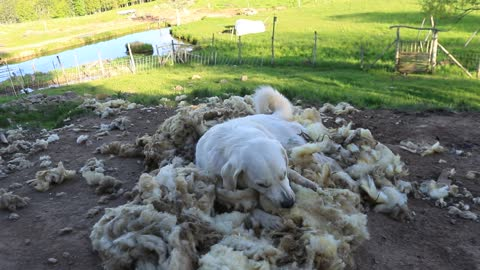 Livestock guard dog obsessed with sheep wool