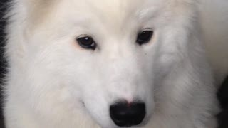 Samoyed puppy has cutest case of the hiccups - Video