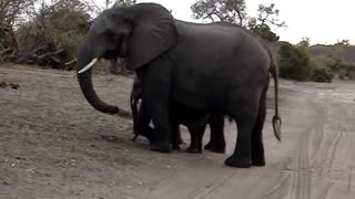 Baby elephant sneezes and scares himself - Video