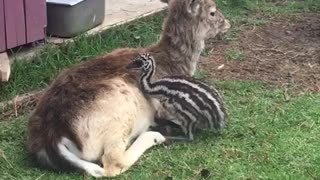 Deer and an emu become unlikely best friends - Video