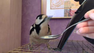 Woodpecker Eats with a Spoon