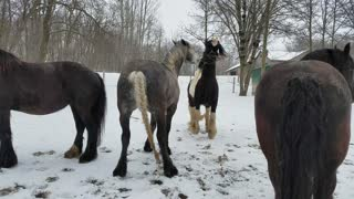 Happy Friesdale horses playing the the snow  - Video