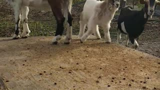 GOATS Playing  - Video