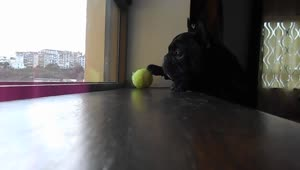 Determined French Bulldog struggles to reach ball - Video