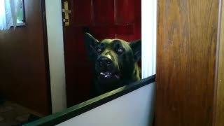 Cute black German Shepherd begs owners to come inside