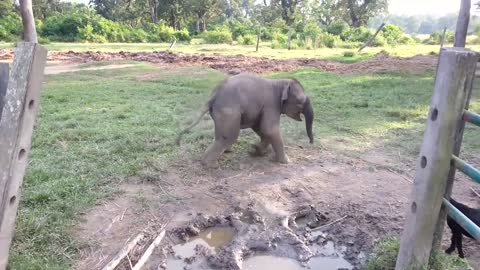 Baby Elephant Gets Scared From A Baby Goat