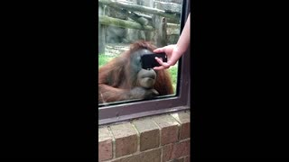 Orangutan Loves Watching YouTube Videos Of Orangutans - Video
