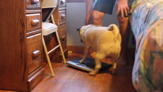 Fat Pug won't let owner use scale - Video