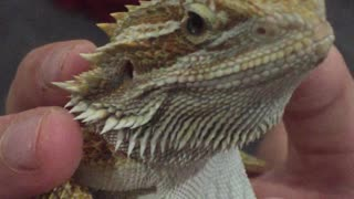 Most relaxed lizard in the world? - Video