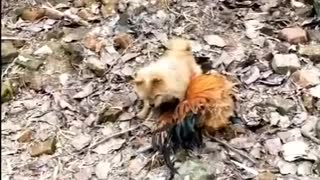 Chicken VS Dog Fight Funny Video