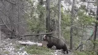 Grizzly Casually Passes By Tourists In The Woods - Video