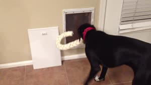 Dog struggles to fit giant bone through door - Video