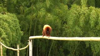 Hairy Monkey Cross Out High Branch For banans
