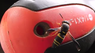 Wasp Lays Egg - Video