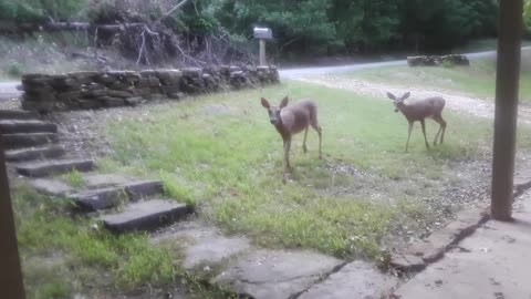 Rehabilitated deer returns from wild to visit caretaker