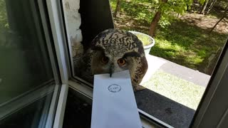 Messenger Owl with Attitude - Video