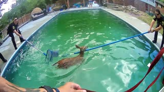"Two Baby Deer ""Cheer"" After Officers Rescue Them From Pool"