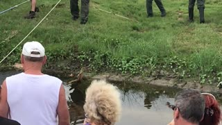 Giant Gator Removed from Drainage Ditch