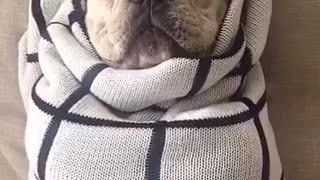 White french bulldog lays on back wrapped in white blanket - Video