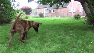 Little puppy is catching bubbles :-) - Video